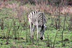 Burchell& x27; zebra de s Imagem de Stock Royalty Free