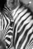 Burchell \ 'zebra de s, Burchell \ 'zebra de s, burchellii do quagga do Equus fotografia de stock royalty free