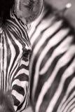 Burchell \ 'zebra de s, Burchell \ 'zebra de s, burchellii do quagga do Equus fotografia de stock