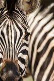 Burchell \ 'zebra de s, Burchell \ 'zebra de s, burchellii do quagga do Equus fotos de stock