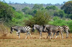 Burchell zebra (Equus kwaga burchellii) Obraz Royalty Free