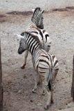 Burchell zebra (Equus kwaga burchellii) Zdjęcie Royalty Free