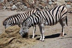 Burchell zebra (Equus kwaga burchellii) Zdjęcie Stock