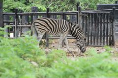 The burchell zebra in farm