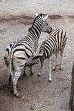 Burchell zebra karmi swój źrebięcia (Equus kwaga burchellii) Zdjęcie Royalty Free