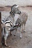 Burchell zebra karmi swój źrebięcia (Equus kwaga burchellii) Obraz Stock
