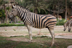 Burchell zebra Royalty Free Stock Photos