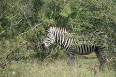 Burchell Zebra Kruger National Park. An Burchell Zebra Kruger National Park Royalty Free Stock Images