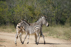 Burchell Zebra Kruger National Park. Two Burchell Zebra Kruger National Park Royalty Free Stock Photos