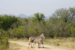 Burchell Zebra Kruger National Park. Two Burchell Zebra Kruger National Park Royalty Free Stock Photography