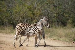 Burchell Zebra Kruger National Park. Two Burchell Zebra in Kruger National Park Stock Photo