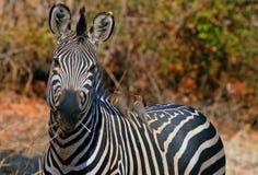 Burchell zebra patrzeje kamerę z dwa oxpeckers na nim ` s plecy Zdjęcie Stock