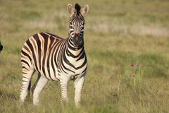 Burchell Zebra portrait royalty free stock images