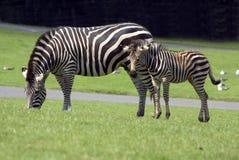 burchell zebra s Fotografia Stock