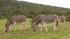 burchell zebra s Obrazy Royalty Free