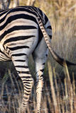 Burchell zebra's behind Royalty Free Stock Images
