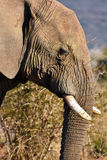 African elephant's profile Royalty Free Stock Images