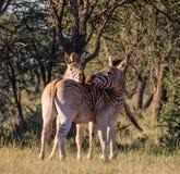 burchell zebra s dwa Obrazy Stock