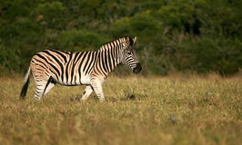 Burchell Zebra side profile portrait Royalty Free Stock Photos