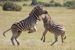 Burchell zebras Stock Photography