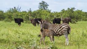 Burchell-Zebras, die einen zarten Moment in Kruger-Park, Südafrika haben stockbild