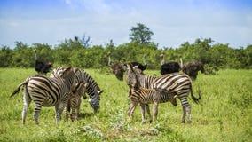 Burchell-Zebras, die einen zarten Moment in Kruger-Park, Südafrika haben lizenzfreie stockfotos