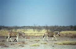 Burchell zebras, Etosha National Park, Namibia Stock Photos