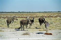 Burchell zebras, Etosha National Park, Namibia Royalty Free Stock Images