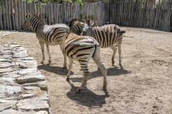Burchell zebras playing, group of animals. On the sand, surrounded by wooden fence Stock Photography