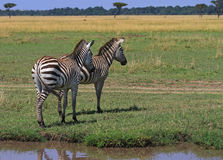 Burchell Zebras standing on the open plains in the masai mara, Kenya Stock Images