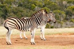 Burchell& x27; zebre di s che stanno insieme Fotografie Stock
