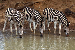 burchell zebry s Obraz Stock