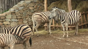 Burchellii квагги Equus группы семьи зебры ` s Burchell видеоматериал