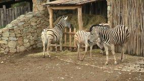 Burchellii квагги Equus группы семьи зебры ` s Burchell сток-видео
