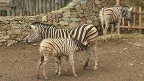 Burchellii квагги Equus конематки зебры Burchell's и осленка детенышей сток-видео