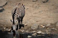 Burchellii do Equus da zebra Foto de Stock