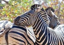 Burchells斑马在非洲 免版税库存图片