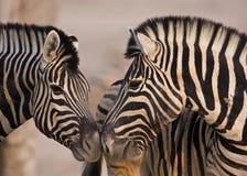 burchells закрывают головное положение до 2 поднимающих вверх зебры Стоковая Фотография