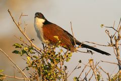 Burchells Coucal Stockfotografie