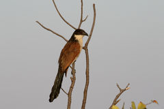 Burchells coucal, Centropus burchell Στοκ Εικόνα