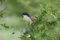 Burchells Coucal in Kruger-Park stockbild