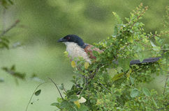 Burchells Coucal in Kruger Park Stock Image