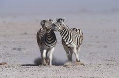 Burchells för Namibia Etosha panna som två sebror kör sidan - förbi - sida royaltyfria foton