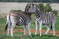 Burchells or Plains Zebra Royalty Free Stock Photo