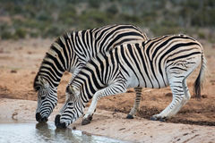 Burchells or Plains Zebras Drinking Water Stock Photography