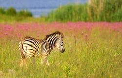 burchells potomstw zebra Fotografia Royalty Free