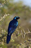 Burchells Starling - il Botswana Fotografia Stock