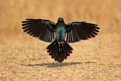 Burchells starling landing Stock Photos