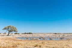 Burchells zebr woda pitna w waterhole w Północnym Namib Zdjęcia Royalty Free
