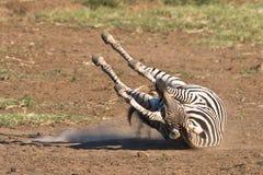 Burchells Zebra. Rolling in the dusty sand of Pilanesberg Stock Image